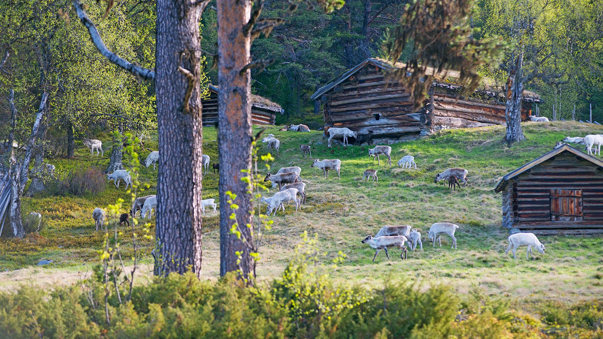 Domesticated reindeer herd.