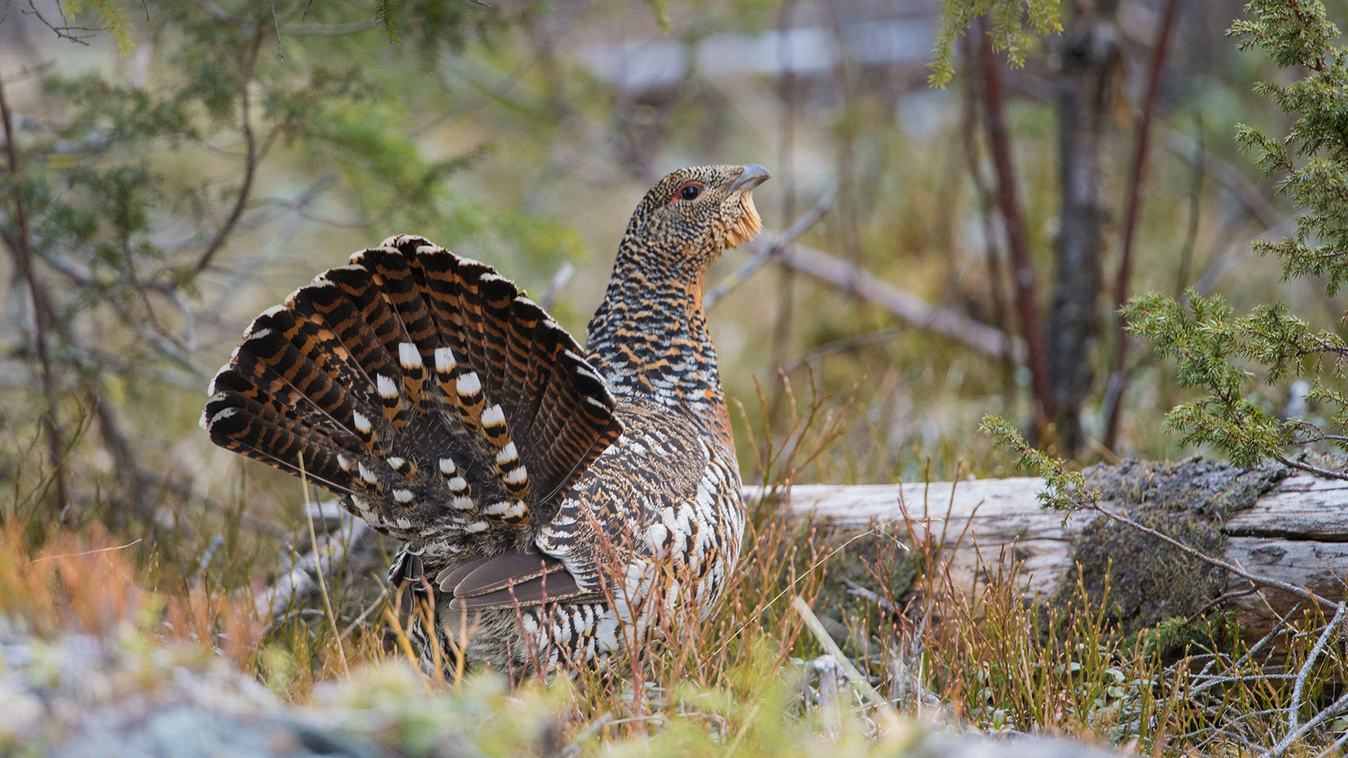 Female capercaillie.