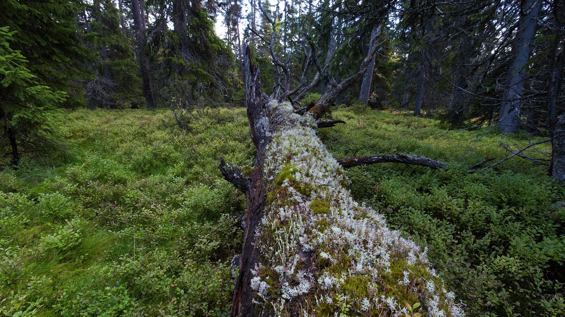 Gammelskog, stokk med mose.