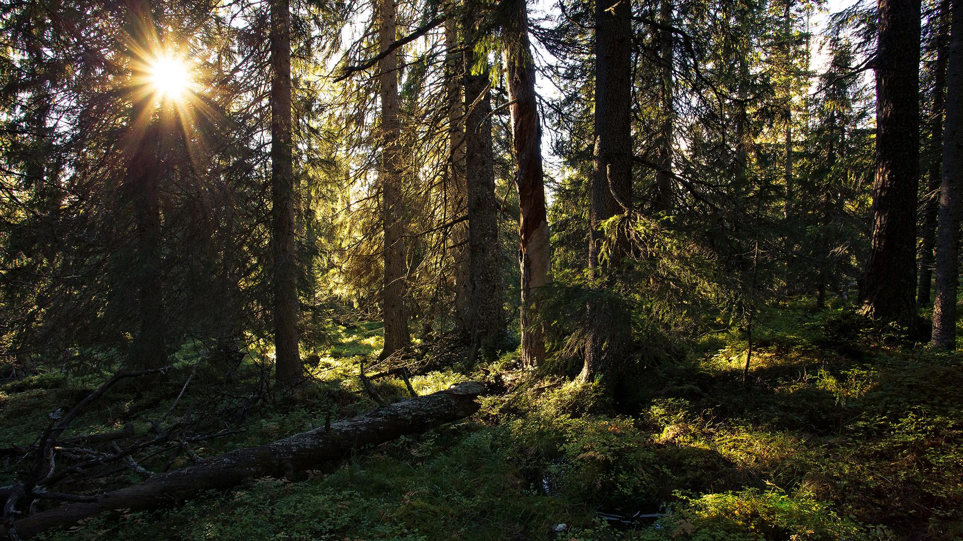 Solgløtt i skogen.